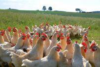 Gesunde Hühner und Hähnchen: Qualität, die man schmeckt.